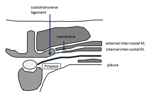parathoracic anatomy related keywords