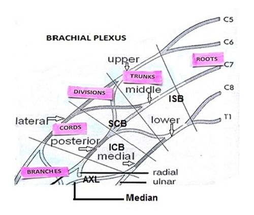 Usg For Brachial Plexus Block Anaesthesia Pain Intensive Care