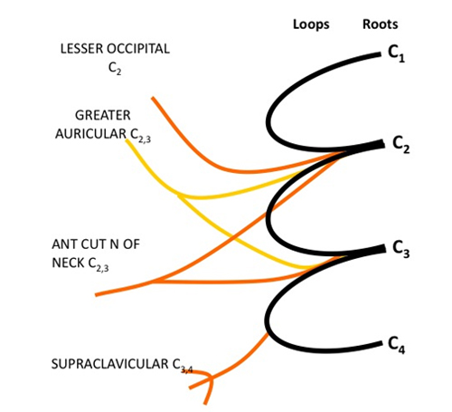 The cervical plexus: anatomy and ultrasound guided blocks ...